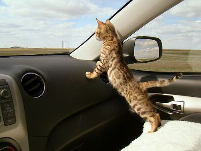 A cat in a car